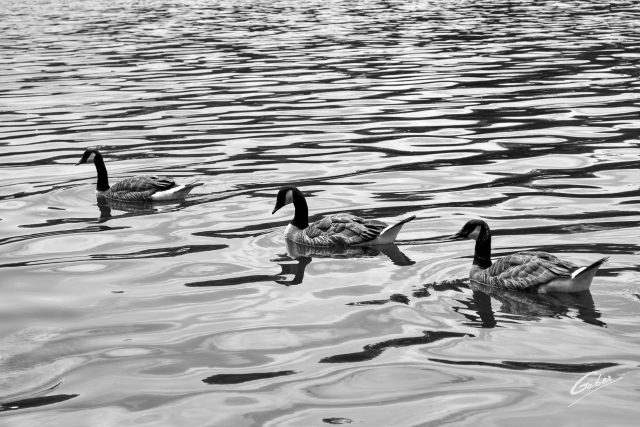 Canada Geese  02