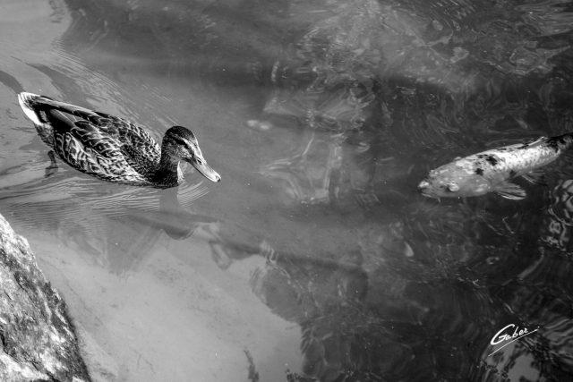 Ducks  08