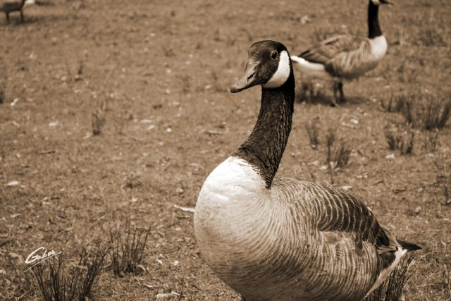 Canada Geese  06