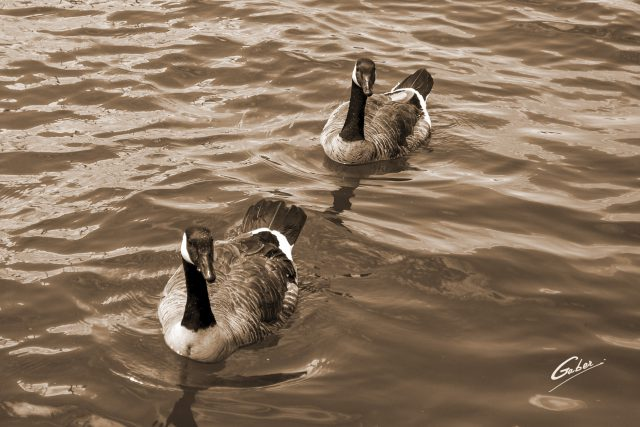 Canada Geese  10