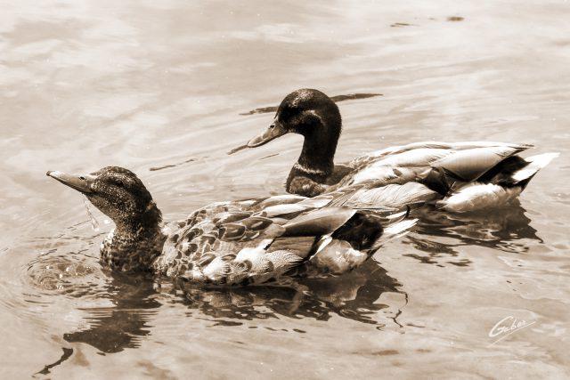 Ducks  04