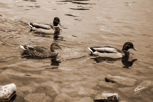 Ducks  12