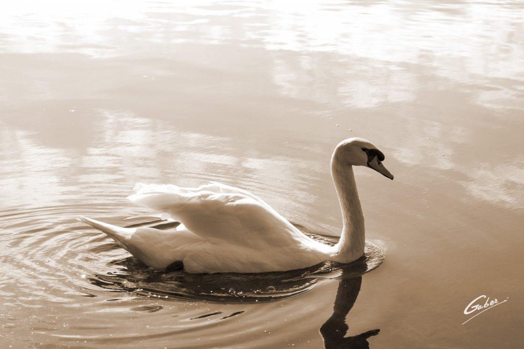 Swan  09