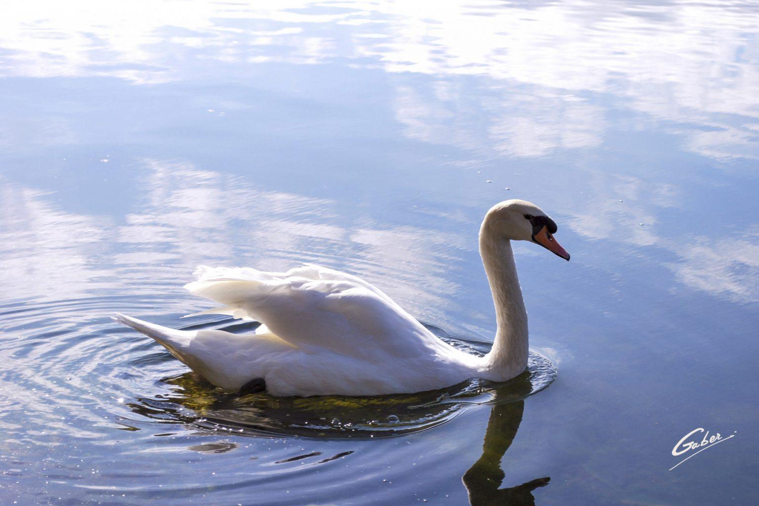 Swan_45_FINAL_GAB-C-BISW-09