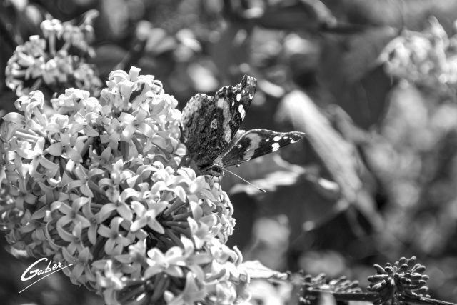 Butterfly Red Admiral 03