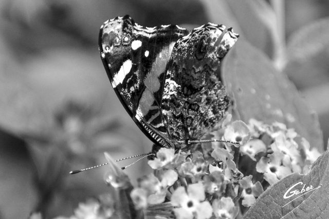 Butterfly Red Admiral 05