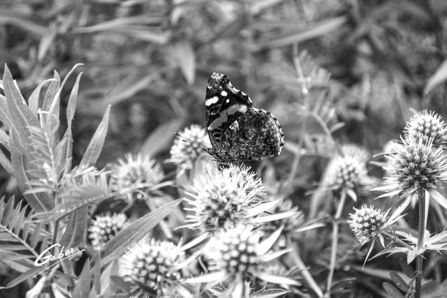 Butterfly Red Admiral 07