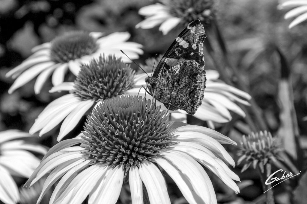 Butterfly Red Admiral 10