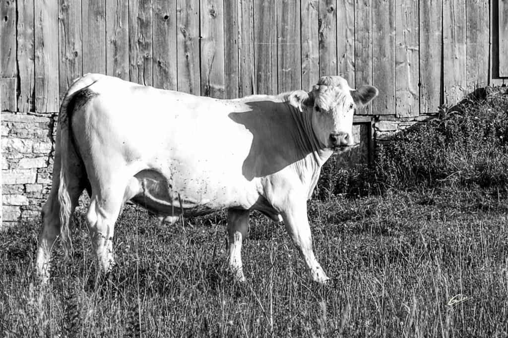 Cows  02