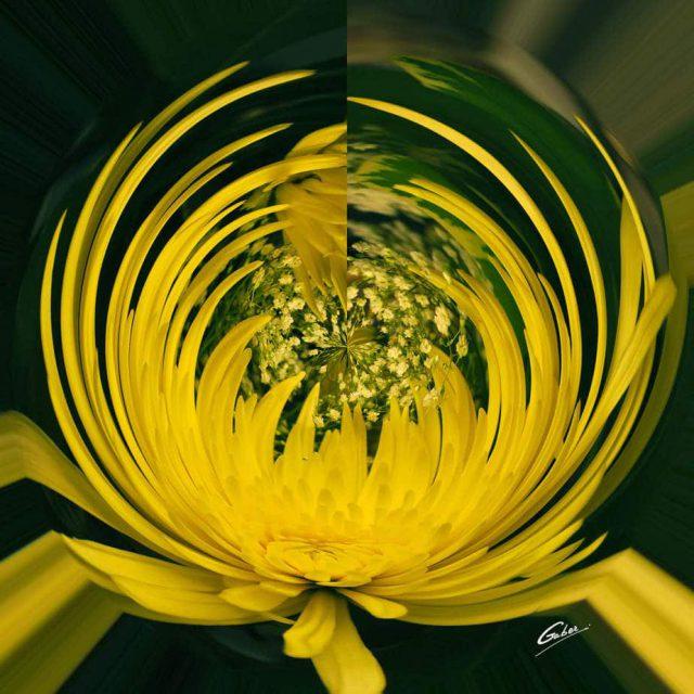 Chrysanthemum Bloom 02