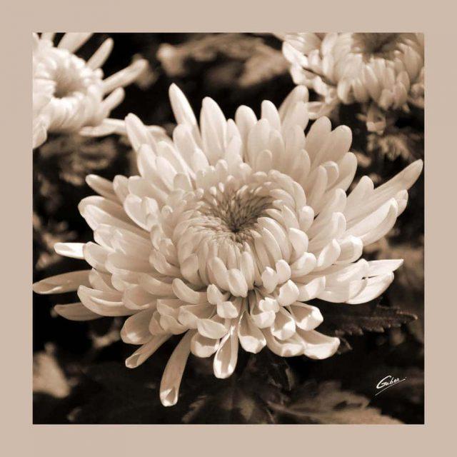 Chrysanthemum in full bloom 02