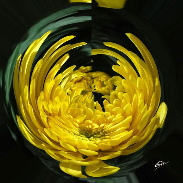 Chrysanthemum Bloom 06