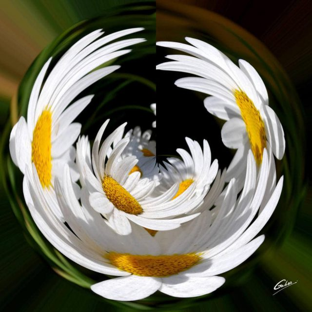 Daisies (Bellis perennis) 03
