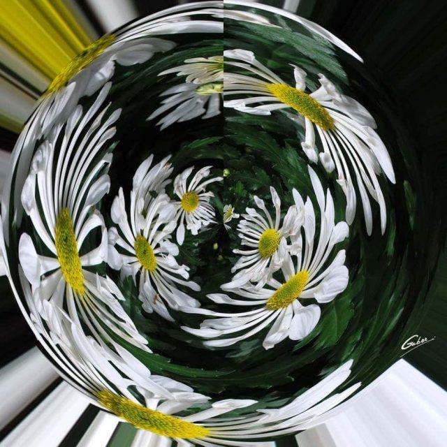 Daisies Shasta(Leucanthemum superbum) 01
