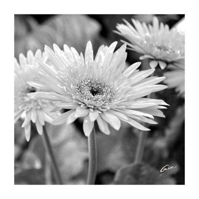 Daisy African (Gerbera jamesonii) 02