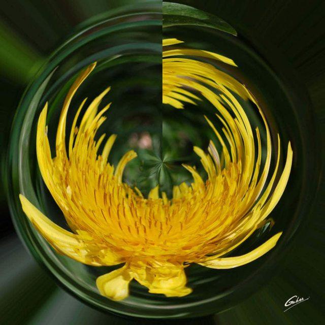 Dandelion (Taraxacum officinale) 01