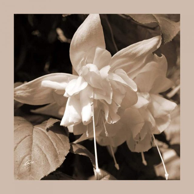 Fuchsia 10