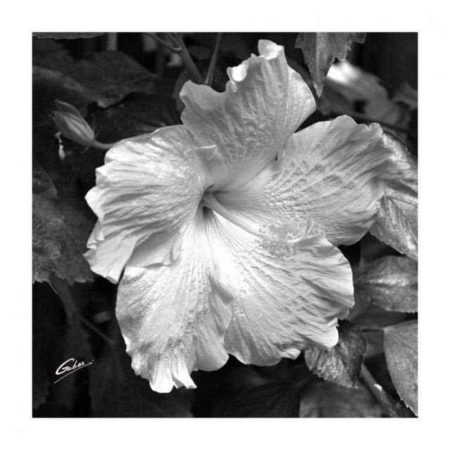 Hibiscus Bloom 01