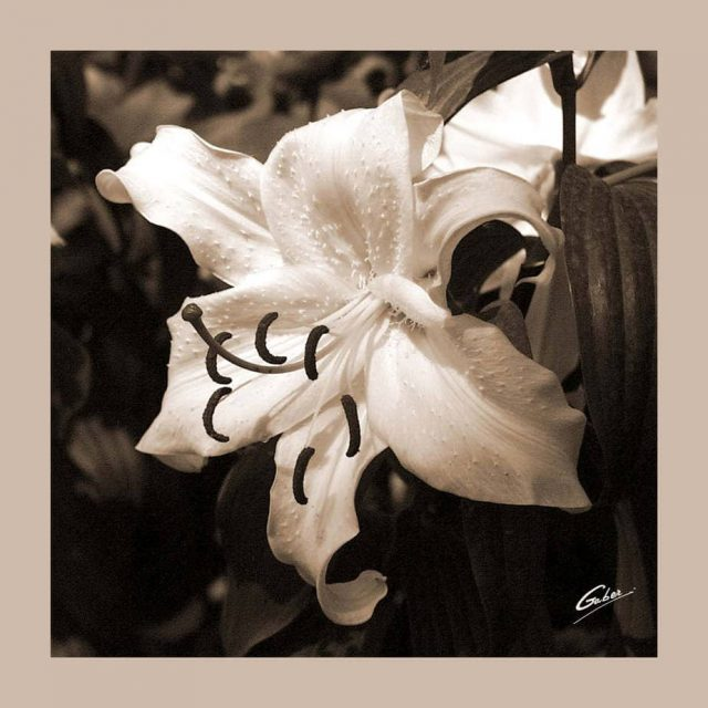 Lilium allegra 01