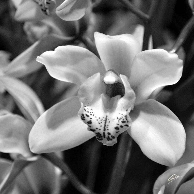 Orchid Cymbidium 05