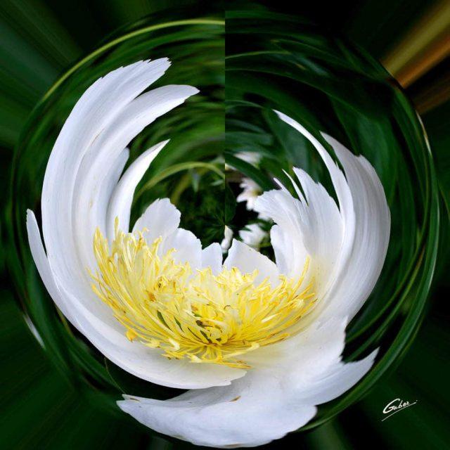 Peone Bloom 06