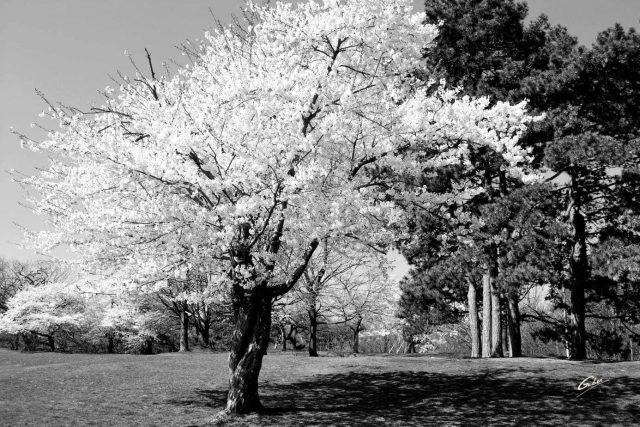 Spring Scenes Japanese Cherry trees High Park Toronto 02