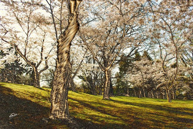 Spring Scenes Japanese Cherry trees High Park Toronto 29