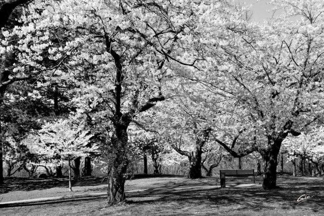 Spring Scenes Japanese Cherry trees High Park Toronto 05