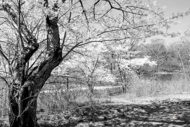 Spring Scenes Japanese Cherry trees High Park Toronto 11