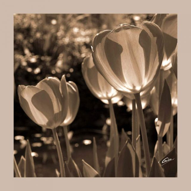 Tulips Bloom 49