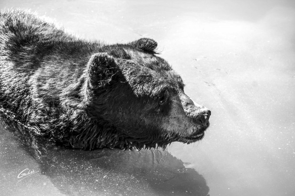American Black Bear(Ursus Americanus Pallas) 02