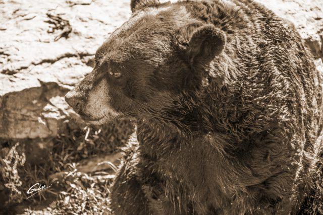 American Black Bear(Ursus Americanus Pallas) 07