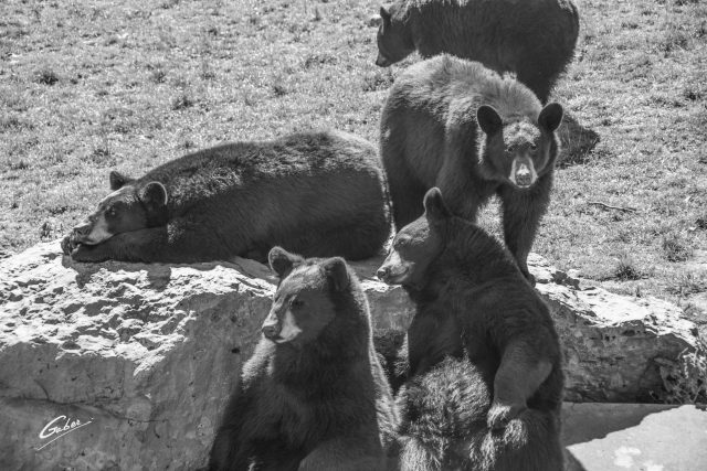 American Black Bear(Ursus Americanus Pallas) 10