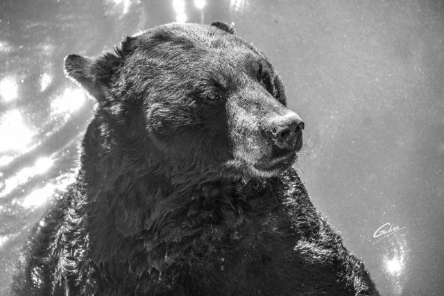 American Black Bear(Ursus Americanus Pallas) 13