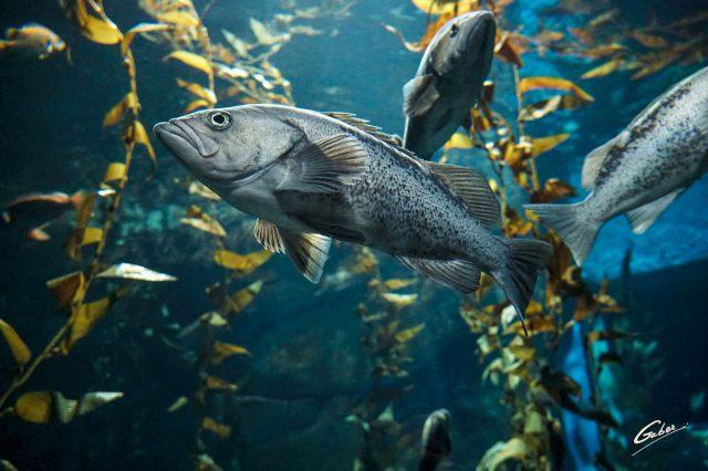 Atlantic Cod( Gadus morhua) 2018  01