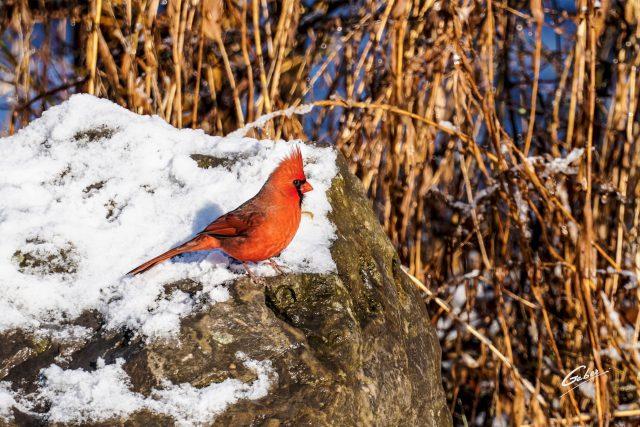 Northern Cardinal 2021 01