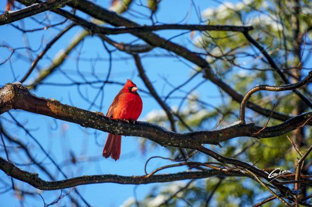 Northern Cardinal 2021 04