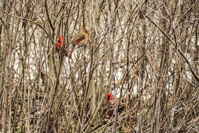 Northern Cardinal 2021 06