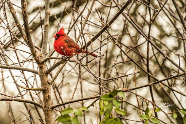 Northern Cardinal 2021 08