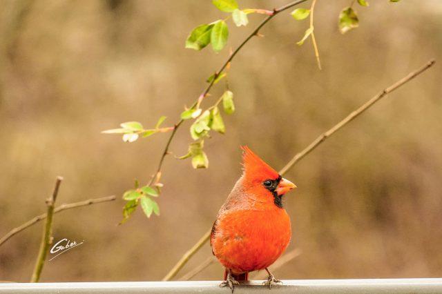 Northern Cardinal 2021 10