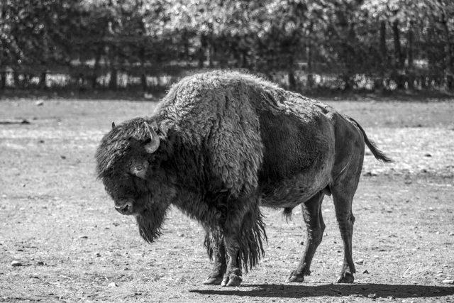 Buffalo (Bison bison) 01