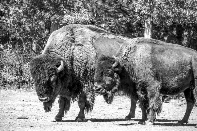 Buffalo (Bison bison) 02