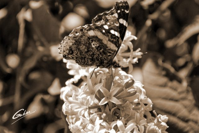 Butterfly Red Admiral 01