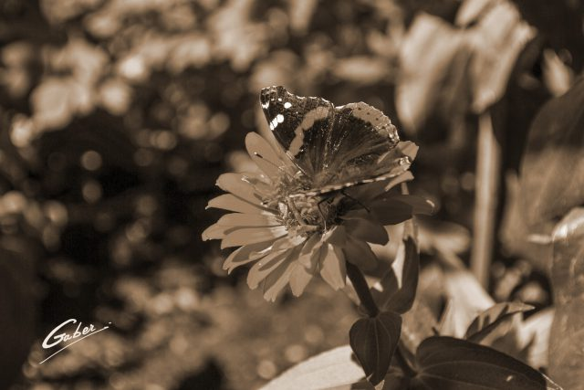 Butterfly Red Admiral 09