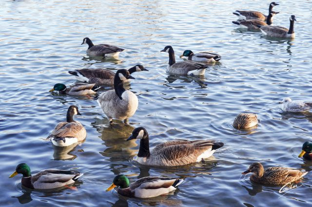 Canada Geese 2020 01