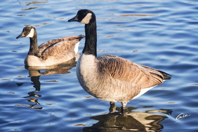 Canada Geese 2020 04