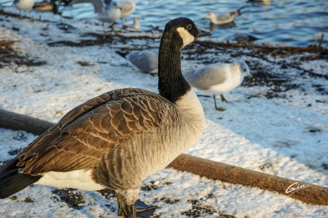 Canada Geese 2020 07