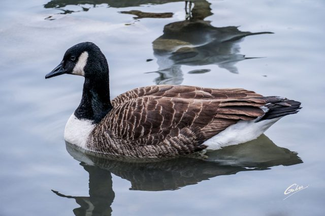 Canada Geese 2021 01
