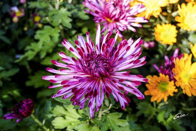 Chrysanthemum Quill 2020 03