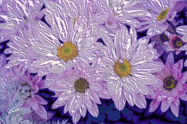 Chrysanthemum Rhumba 2020 08